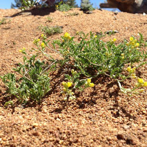 Backyard Conservation - Tahoe Yellow Cress